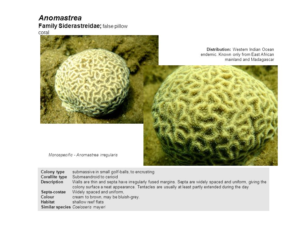 Anomastrea Family Siderastreidae; false pillow coral