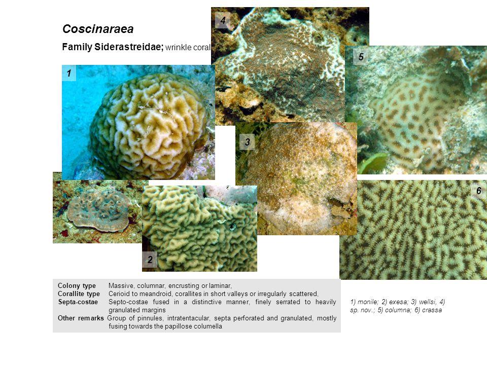 Coscinaraea 4 Family Siderastreidae; wrinkle coral 5 1 3 6 2