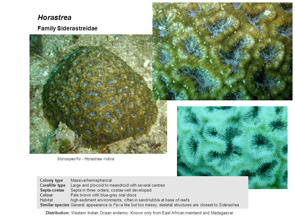 Horastrea Family Siderastreidae Monospecific - Horastrea indica