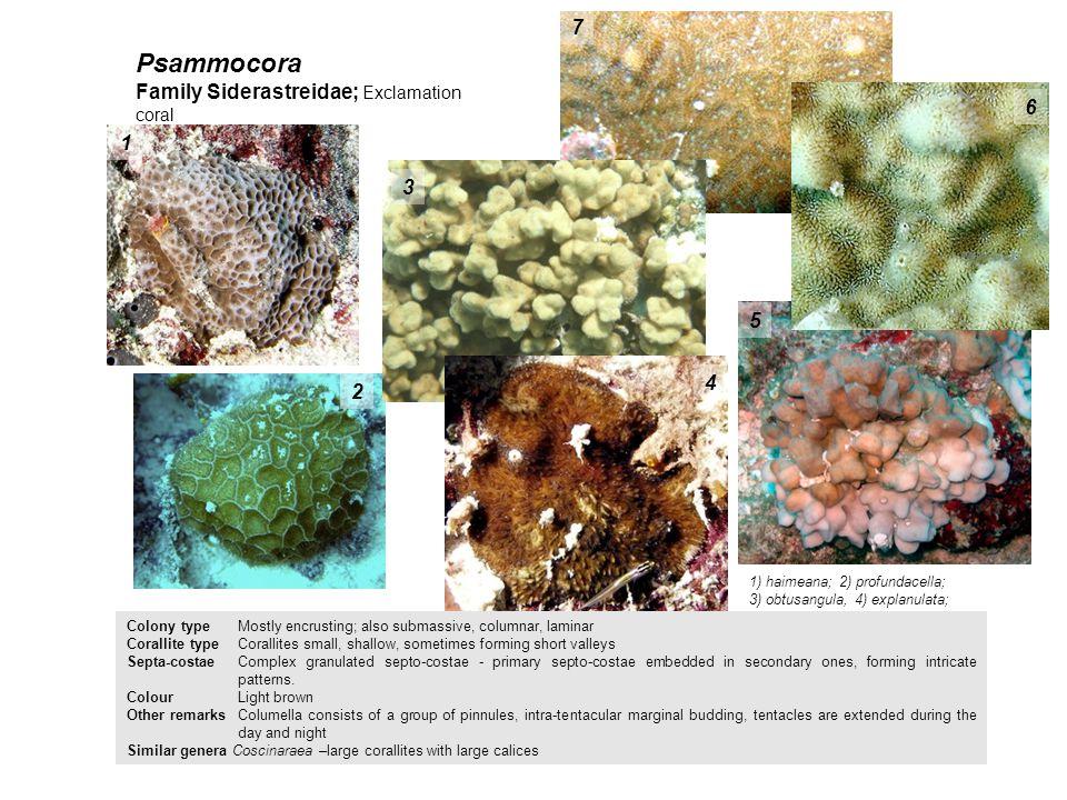 Psammocora 7 Family Siderastreidae; Exclamation coral 6 1 3 5 4 2