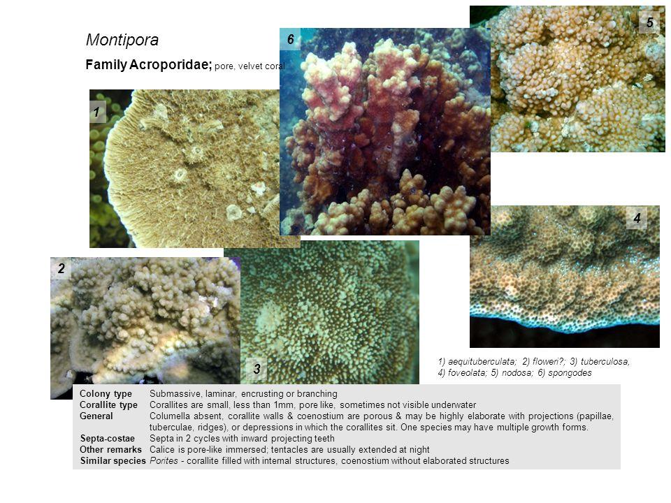 Montipora 5 6 Family Acroporidae; pore, velvet coral 1 4 2 3