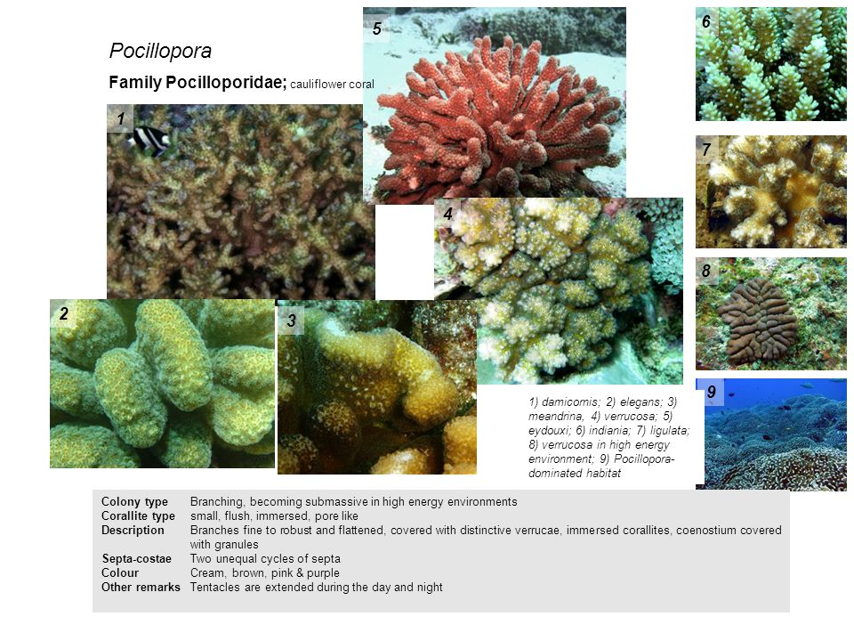Pocillopora 6 5 Family Pocilloporidae; cauliflower coral 1 7 4 8 2 3 9