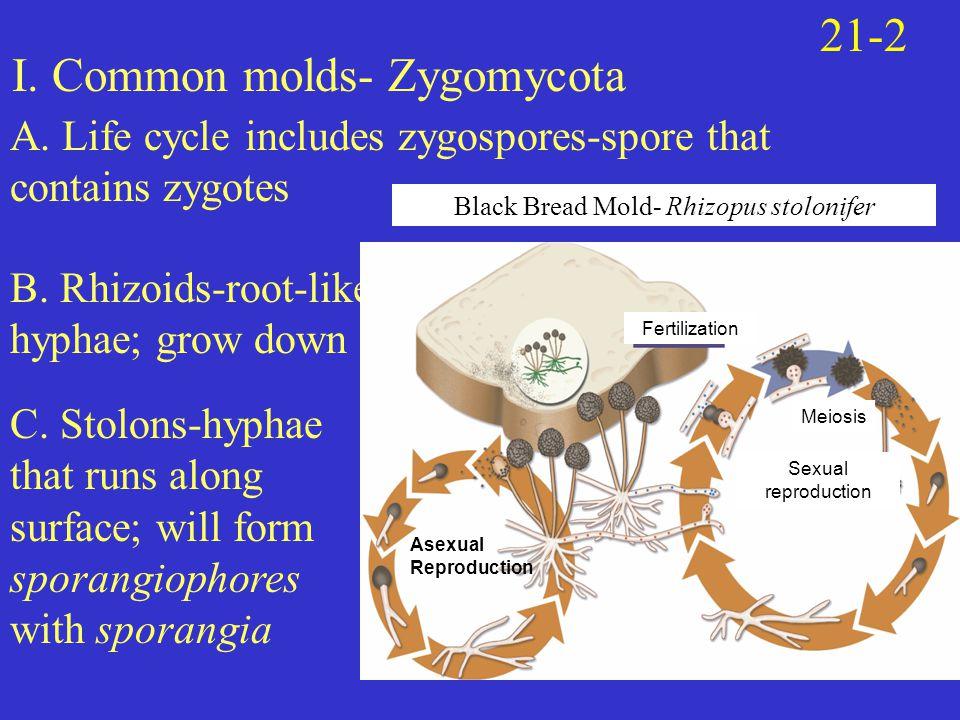 I. Common molds- Zygomycota