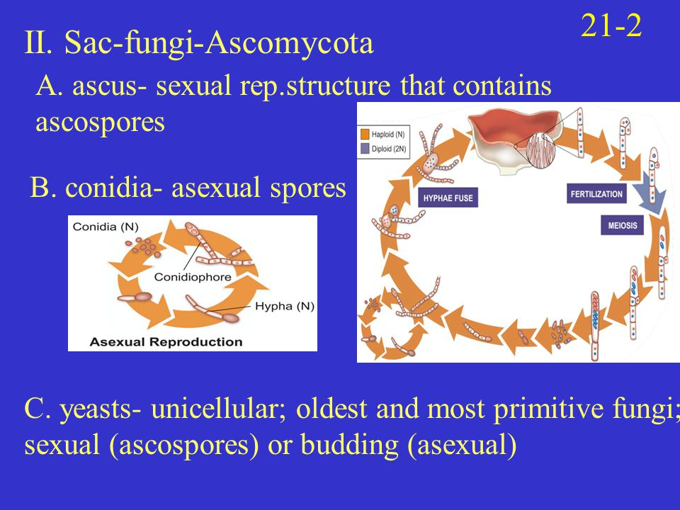 II. Sac-fungi-Ascomycota