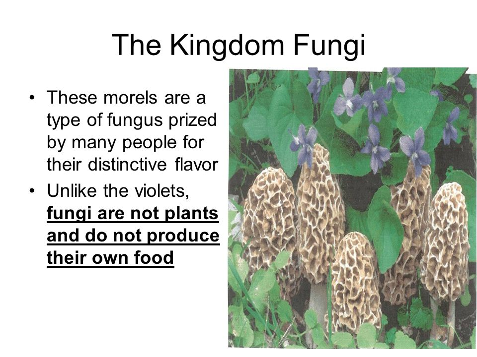 The Kingdom Fungi These morels are a type of fungus prized by many people for their distinctive flavor.