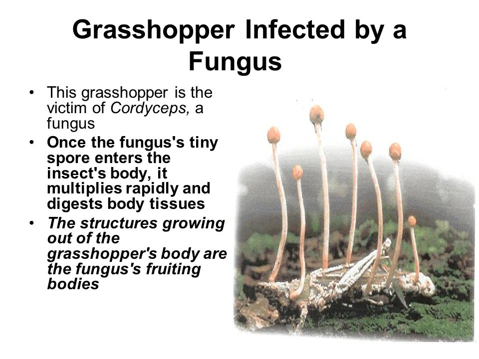 Grasshopper Infected by a Fungus
