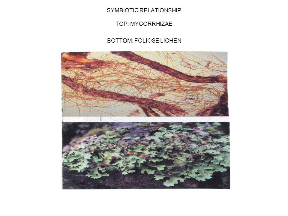 SYMBIOTIC RELATIONSHIP TOP: MYCORRHIZAE BOTTOM: FOLIOSE LICHEN