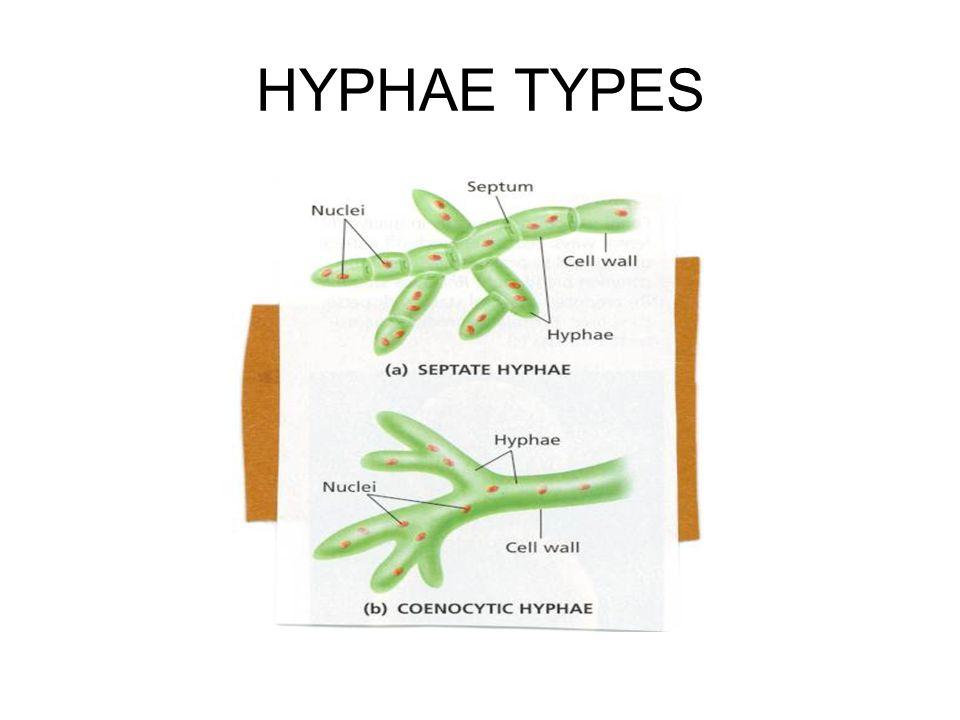 HYPHAE TYPES