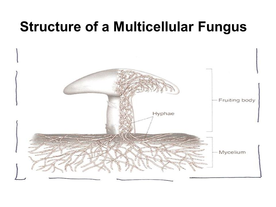 Structure of a Multicellular Fungus