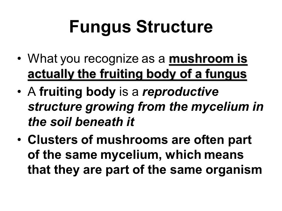 Fungus Structure What you recognize as a mushroom is actually the fruiting body of a fungus.