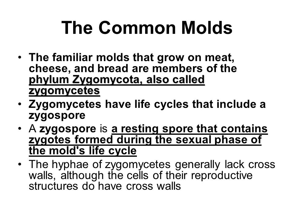 The Common Molds The familiar molds that grow on meat, cheese, and bread are members of the phylum Zygomycota, also called zygomycetes.