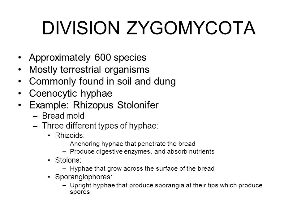 DIVISION ZYGOMYCOTA Approximately 600 species