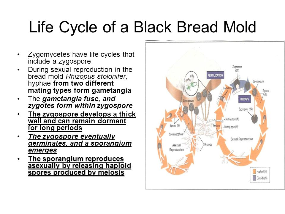 Life Cycle of a Black Bread Mold