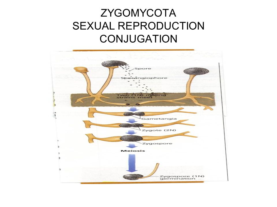 ZYGOMYCOTA SEXUAL REPRODUCTION CONJUGATION
