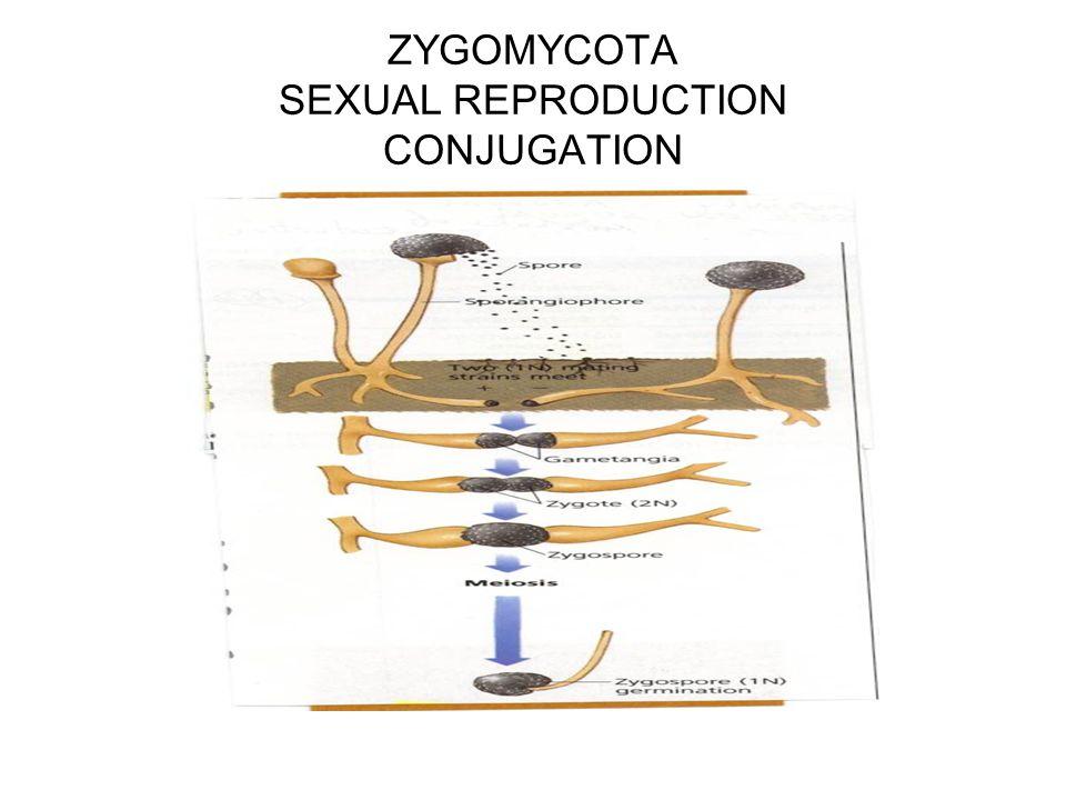 ZYGOMYCOTA SEXUAL REPRODUCTION CONJUGATION