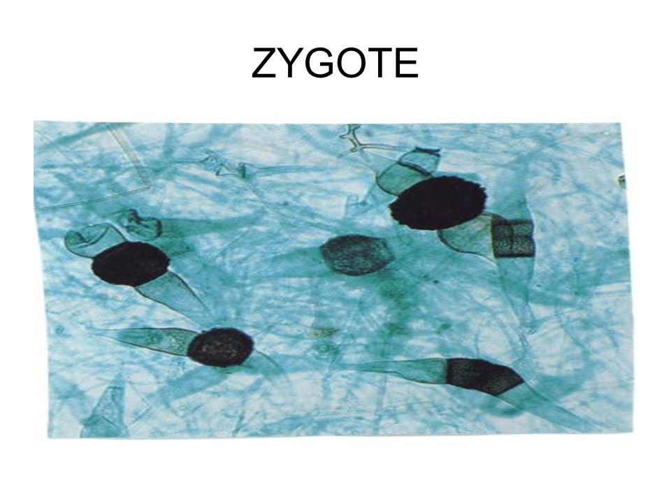 ZYGOTE