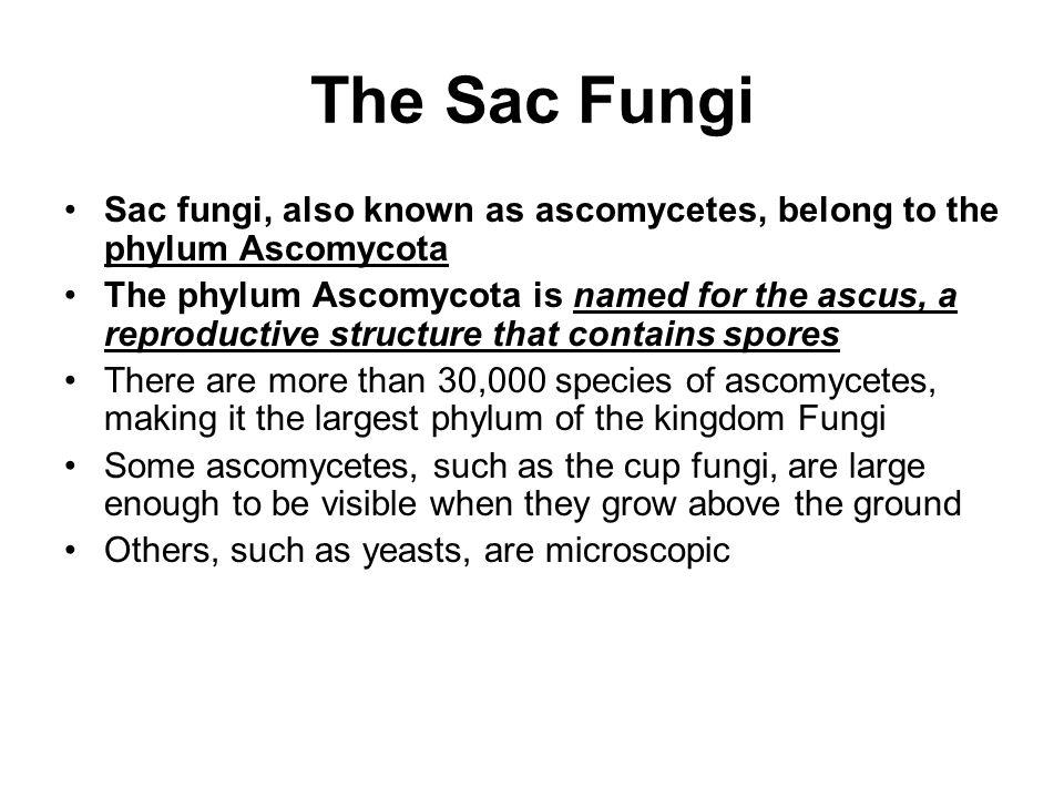 The Sac Fungi Sac fungi, also known as ascomycetes, belong to the phylum Ascomycota.