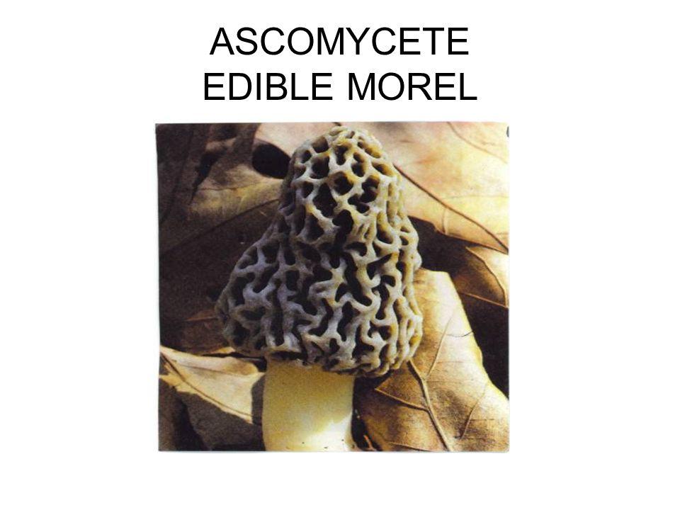 ASCOMYCETE EDIBLE MOREL