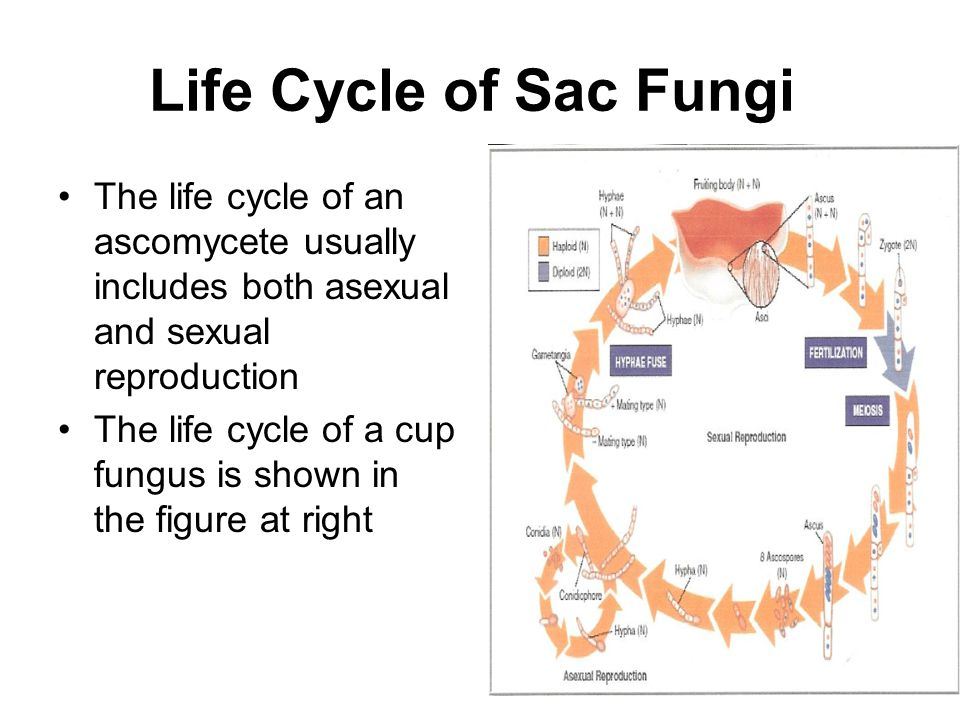 Life Cycle of Sac Fungi The life cycle of an ascomycete usually includes both asexual and sexual reproduction.