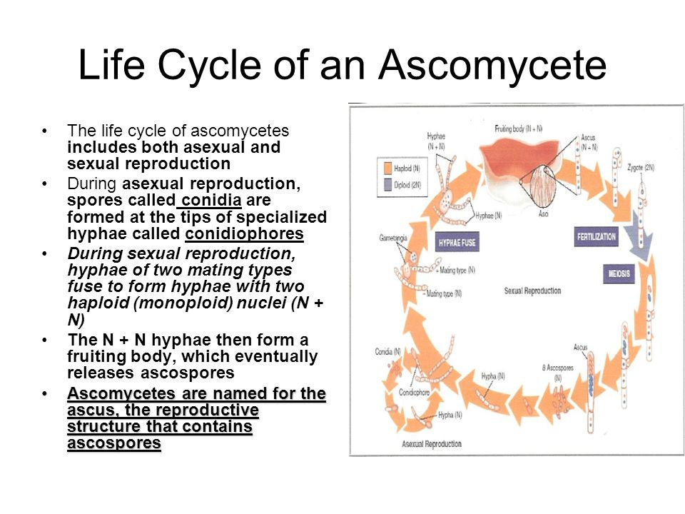 Life Cycle of an Ascomycete
