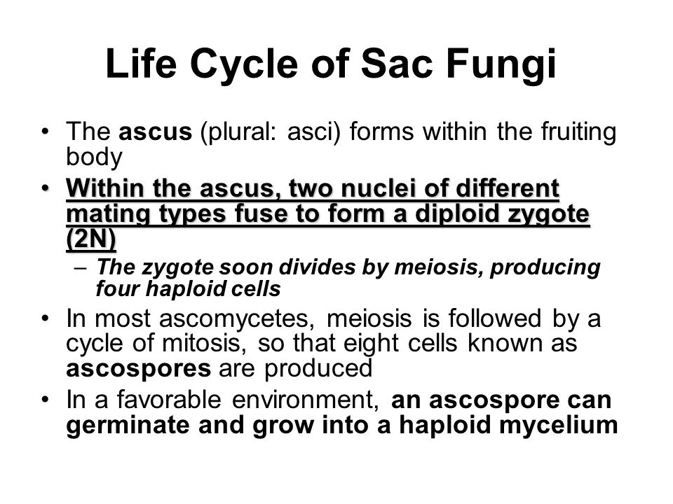 Life Cycle of Sac Fungi The ascus (plural: asci) forms within the fruiting body.