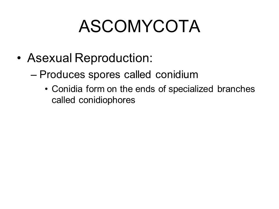ASCOMYCOTA Asexual Reproduction: Produces spores called conidium