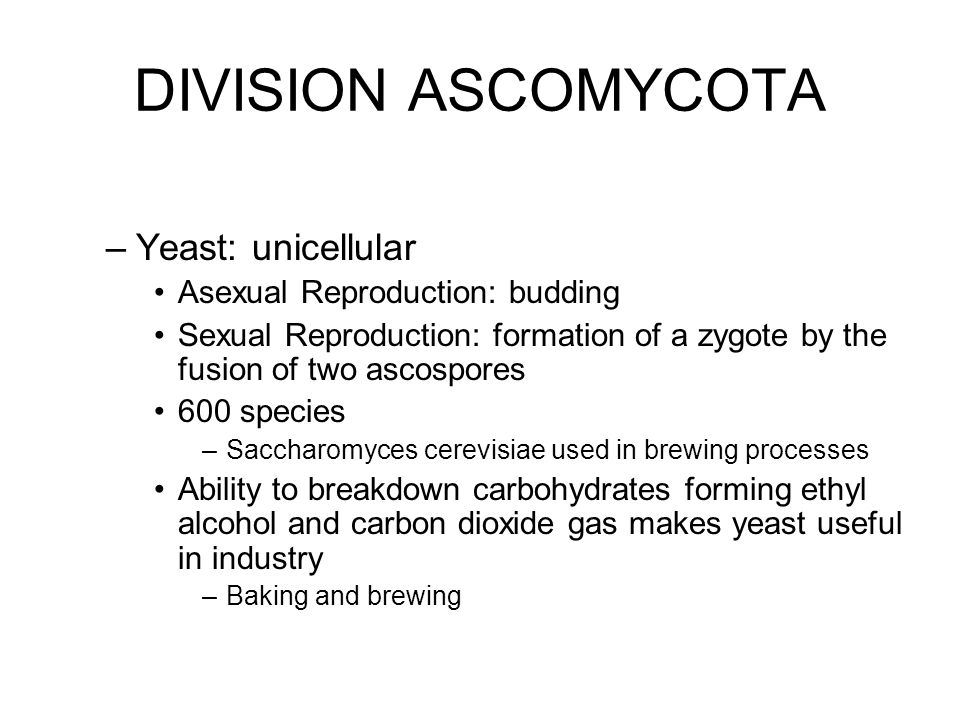 DIVISION ASCOMYCOTA Yeast: unicellular Asexual Reproduction: budding