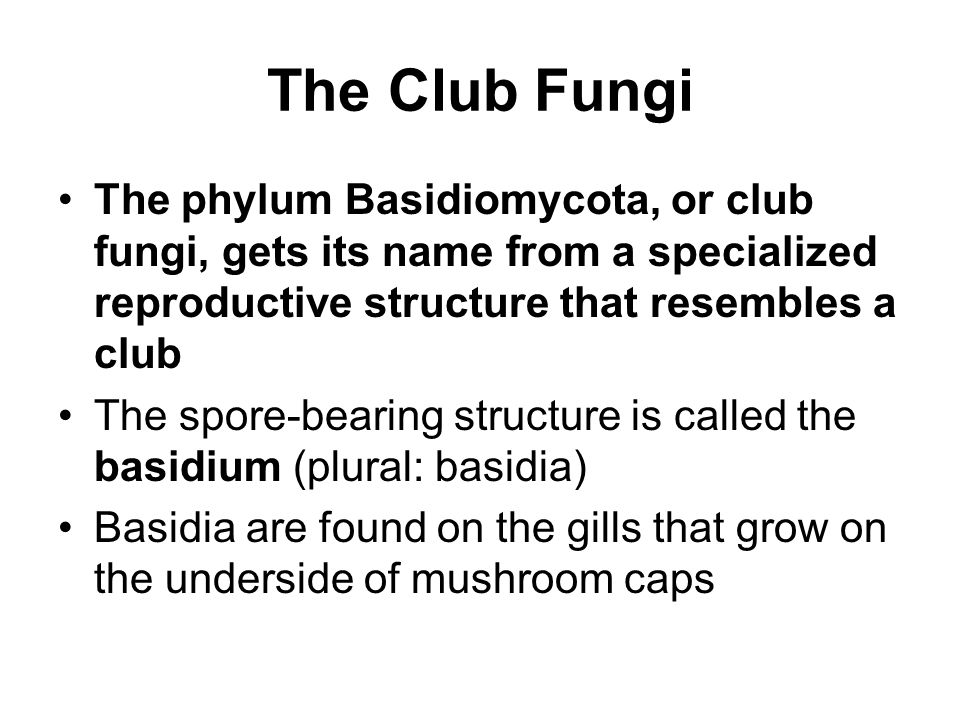 The Club Fungi The phylum Basidiomycota, or club fungi, gets its name from a specialized reproductive structure that resembles a club.
