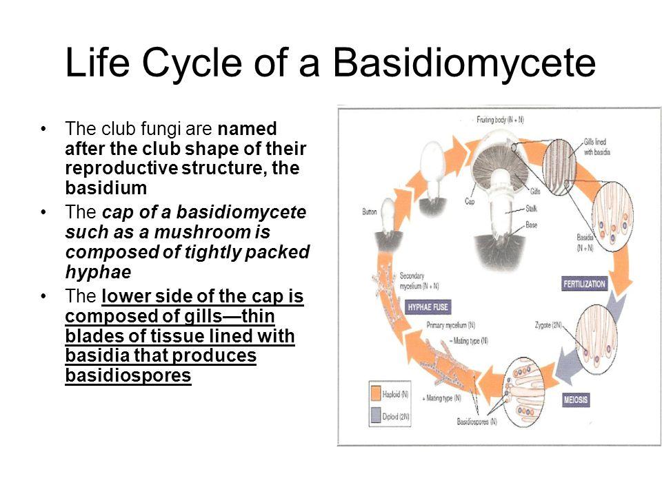 Life Cycle of a Basidiomycete