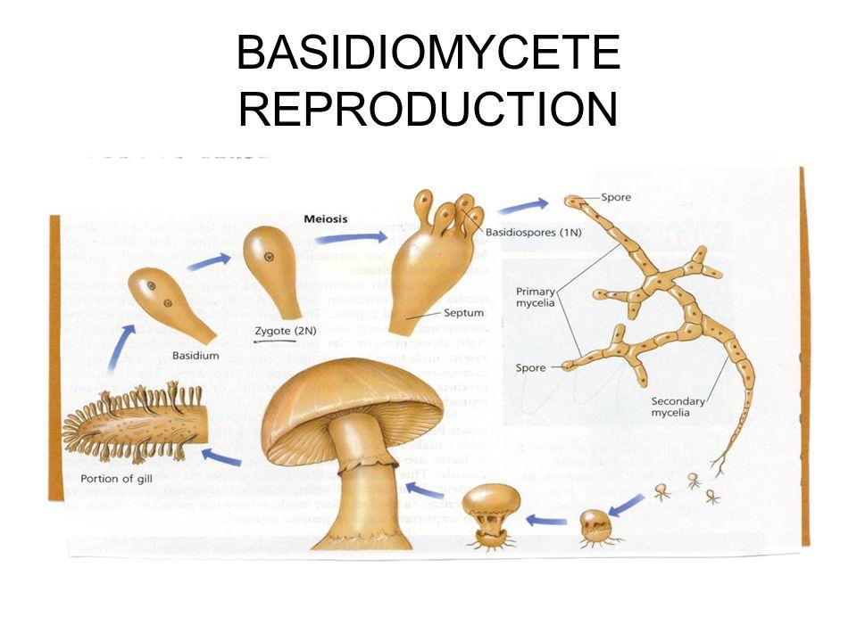 BASIDIOMYCETE REPRODUCTION