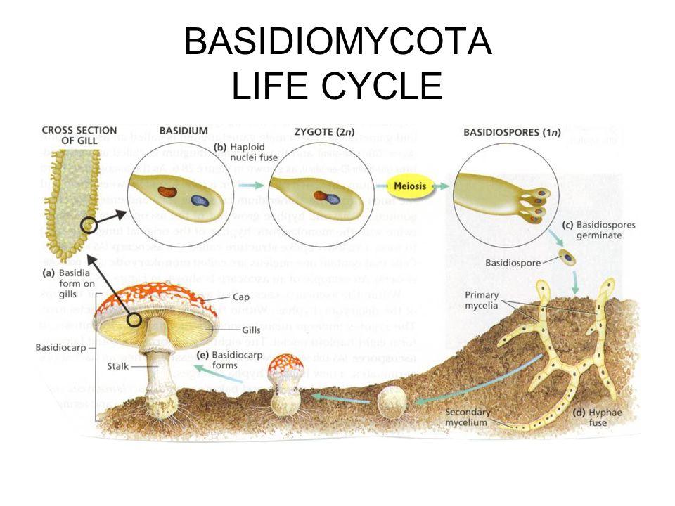 BASIDIOMYCOTA LIFE CYCLE