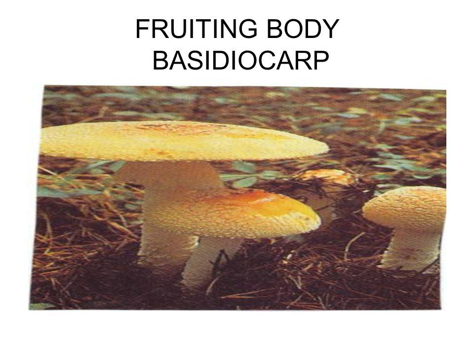 FRUITING BODY BASIDIOCARP