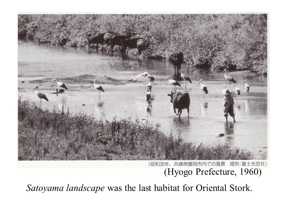 (Hyogo Prefecture, 1960) Satoyama landscape was the last habitat for Oriental Stork.