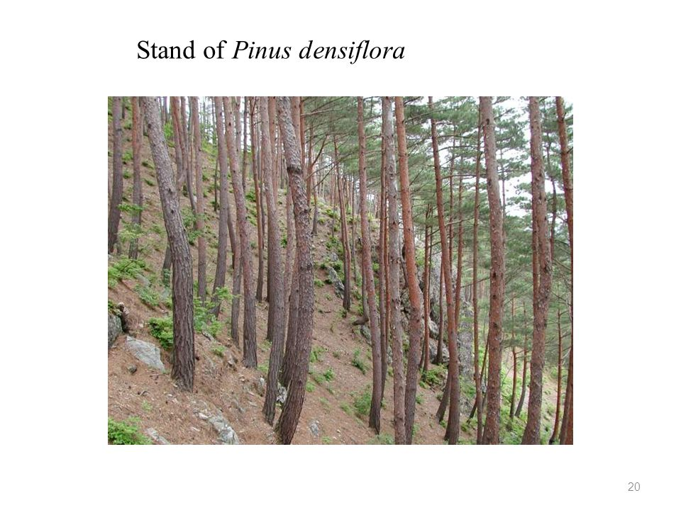 Stand of Pinus densiflora