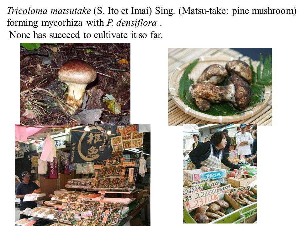 Tricoloma matsutake (S. Ito et Imai) Sing. (Matsu-take: pine mushroom)