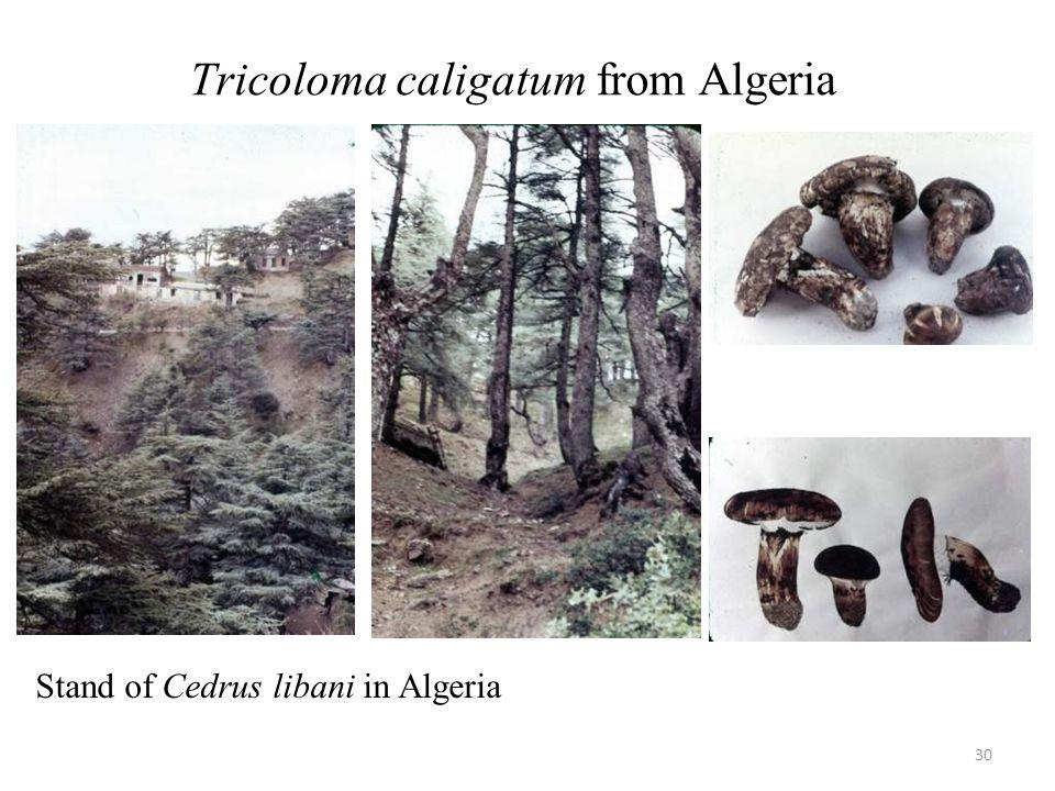 Tricoloma caligatum from Algeria