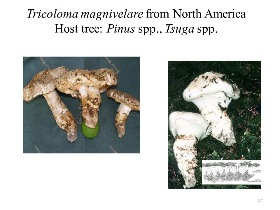 Tricoloma magnivelare from North America Host tree: Pinus spp