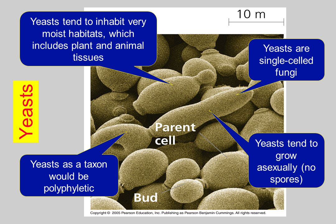Yeasts tend to inhabit very moist habitats, which includes plant and animal tissues