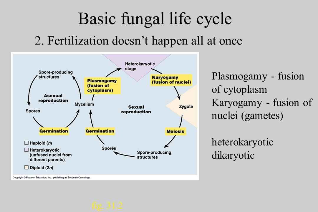 Basic fungal life cycle