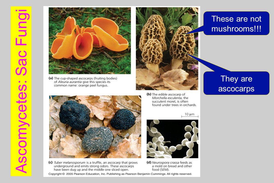 Ascomycetes: Sac Fungi
