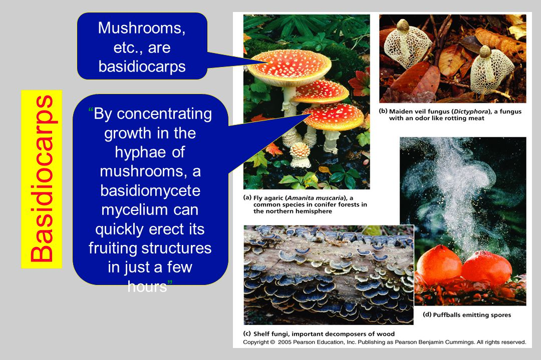 Mushrooms, etc., are basidiocarps
