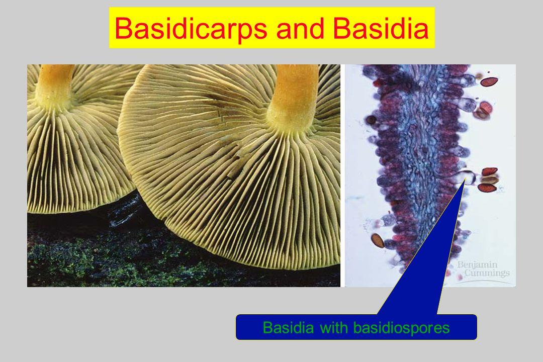 Basidicarps and Basidia