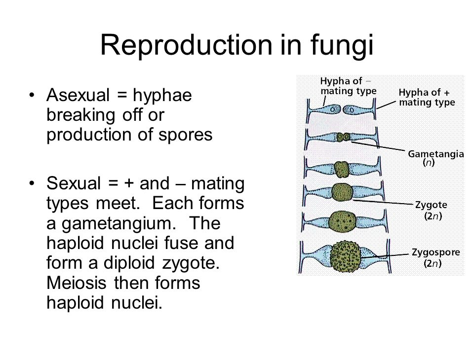 Reproduction in fungi Asexual = hyphae breaking off or production of spores.
