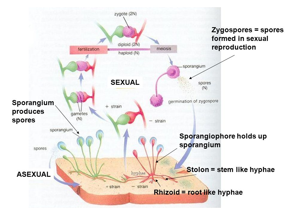 Zygospores = spores formed in sexual. reproduction. SEXUAL. Sporangium. produces. spores. Sporangiophore holds up.