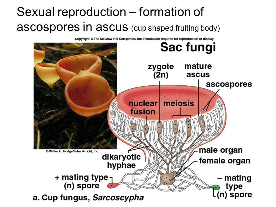 Sexual reproduction – formation of ascospores in ascus (cup shaped fruiting body)