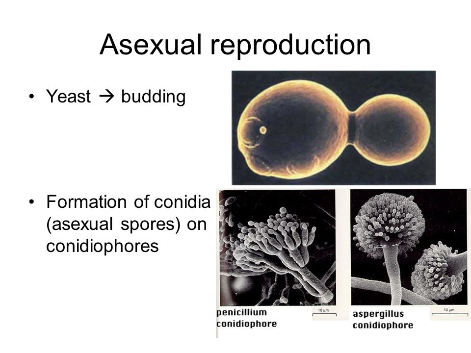 Asexual reproduction Yeast  budding