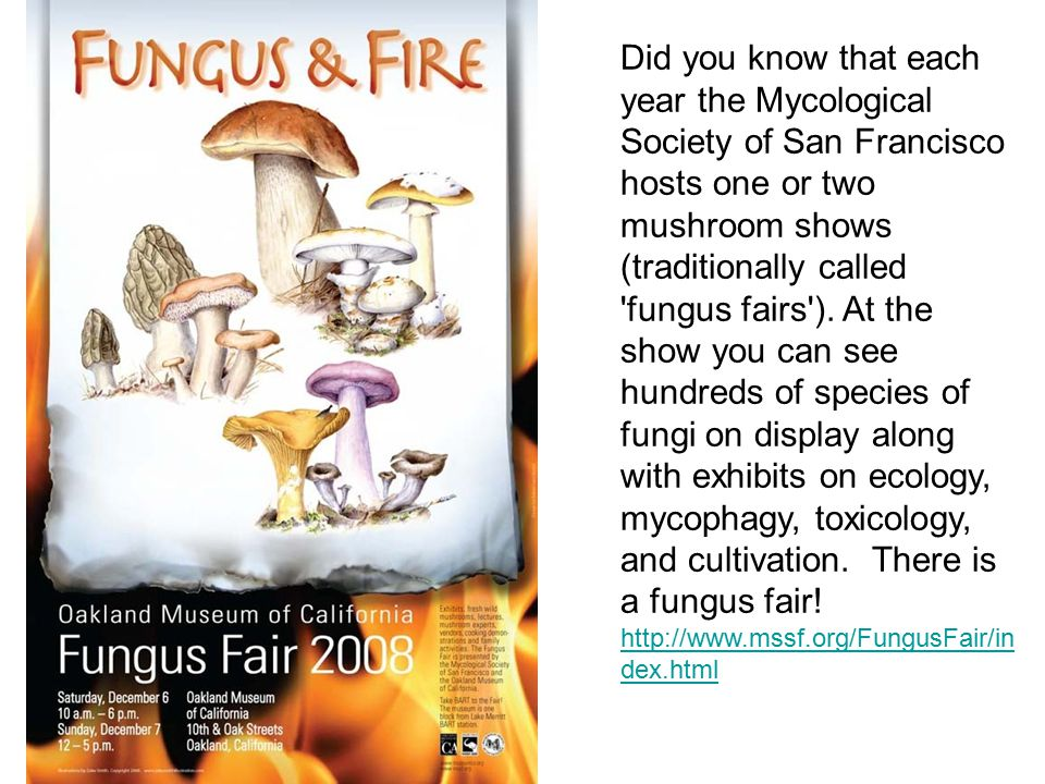 Did you know that each year the Mycological Society of San Francisco hosts one or two mushroom shows (traditionally called fungus fairs ). At the show you can see hundreds of species of fungi on display along with exhibits on ecology, mycophagy, toxicology, and cultivation. There is a fungus fair!