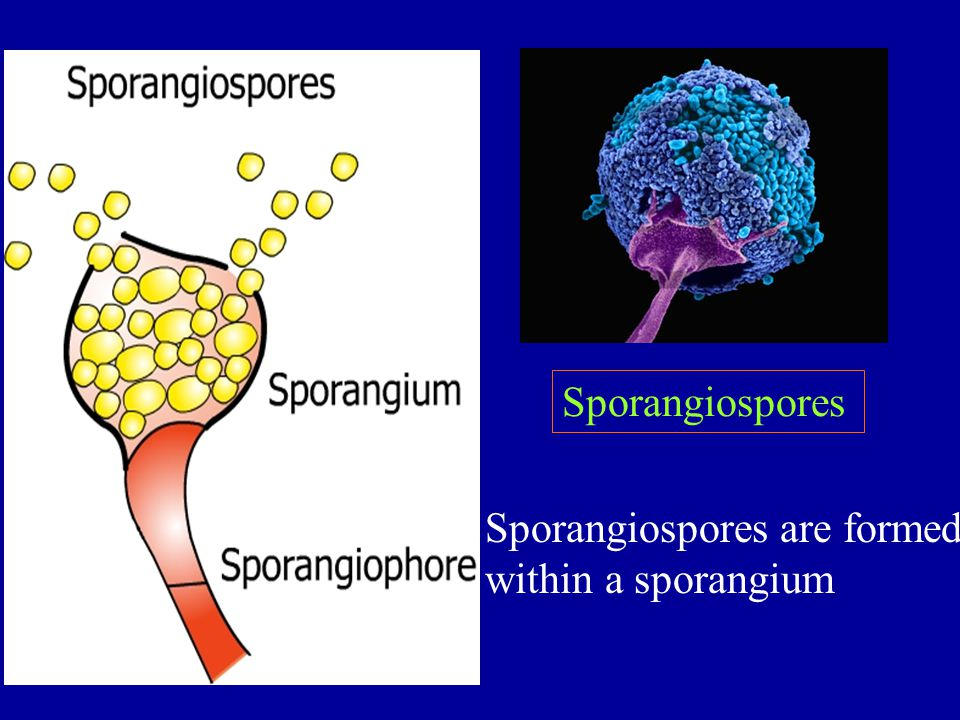 Sporangiospores Sporangiospores are formed within a sporangium