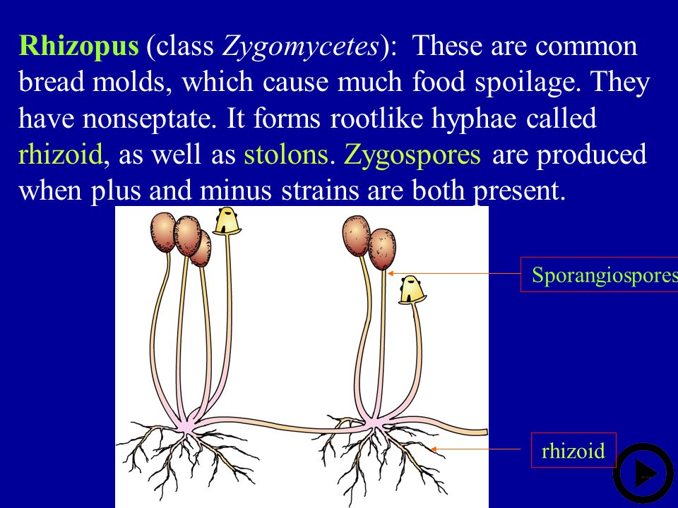 Rhizopus (class Zygomycetes): These are common bread molds, which cause much food spoilage. They have nonseptate. It forms rootlike hyphae called rhizoid, as well as stolons. Zygospores are produced when plus and minus strains are both present.