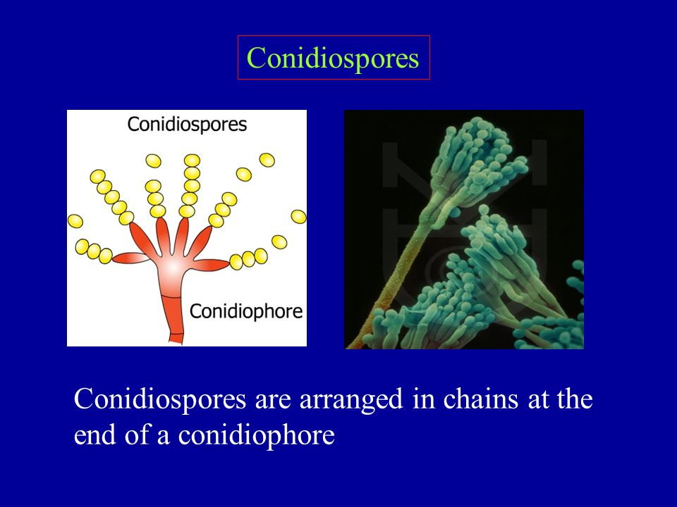 Conidiospores Conidiospores are arranged in chains at the end of a conidiophore